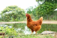 Pollo in un'azienda agricola d'agricoltura tradizionale esterno Fotografie Stock Libere da Diritti