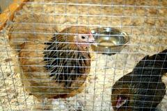 Pollo in una penna con i trucioli di legno Fotografia Stock