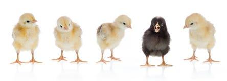 Pollo unico Immagini Stock