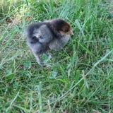 pollo vivo in erba verde Immagini Stock