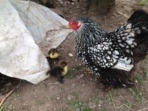 Pollo y anadones de Cochin Foto de archivo libre de regalías