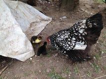 Pollo y anadones de la mamá Foto de archivo