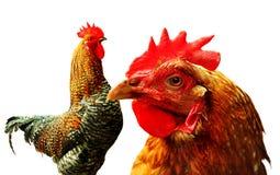 Pollo y gallo Foto de archivo libre de regalías