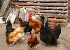 Pollo y gallo en la granja, tirando al aire libre Tema rústico Gallo colorido Imagen de archivo libre de regalías