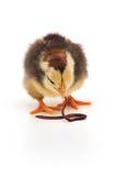 Pollo y gusano imágenes de archivo libres de regalías