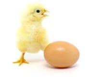 Pollo y huevo Fotos de archivo