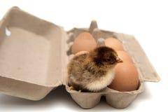 Pollo y huevos en cartón Fotos de archivo