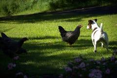 Pollo y Jack Russell Terrier fotografía de archivo