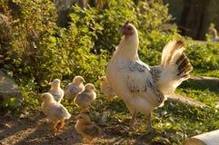 Pollo y polluelos Fotografía de archivo libre de regalías