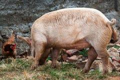 Pollo y un cerdo Fotografía de archivo