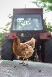 Pollo y un tractor Fotografía de archivo libre de regalías