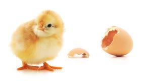 Pollo y una cáscara de huevo Fotografía de archivo libre de regalías