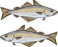 Pollock fish freehand illustration clip-art vector image Stock Photos