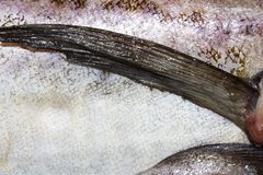 Pollock fish raw. Background of fresh raw fish royalty free stock photography