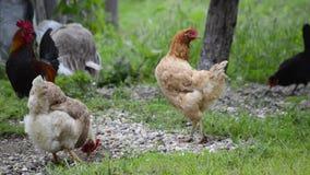 Pollos almacen de video
