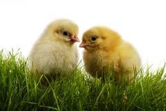 Pollos Fotografía de archivo libre de regalías