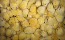 Pollos Imagen de archivo