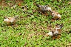Pollos Imagenes de archivo