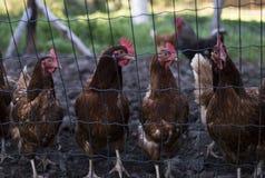 Pollos Foto de archivo