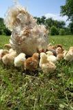 Pollos Fotografía de archivo