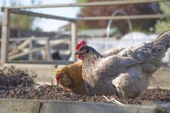 Pollos, aguile?a en el primero plano y Buff Orpington en el fondo, alimentando en un remiendo vegetal imagen de archivo