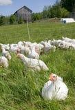 Pollos blancos Imagen de archivo libre de regalías