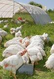 Pollos blancos fotografía de archivo libre de regalías