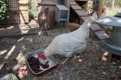 Pollos blancos en gama libre tradicional Foto de archivo libre de regalías