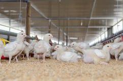 Pollos blancos, granja avícola Foto de archivo