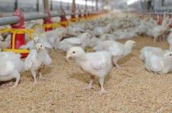 Pollos blancos, granja avícola foto de archivo libre de regalías