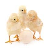 Pollos con el huevo imagen de archivo libre de regalías