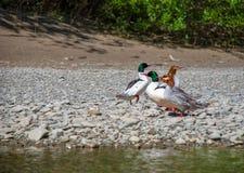 Pollos de agua comunes en la playa fotografía de archivo libre de regalías