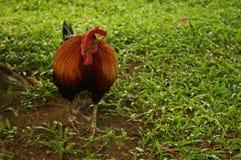 Pollos de alimentación Imagenes de archivo
