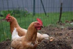 Pollos de Brown que miran directamente la cámara Imagen de archivo