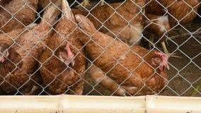 Pollos de la capa de Brown en las jaulas hechas de malla de alambre que comen la comida en bambú almacen de metraje de vídeo