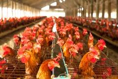 Pollos de los huevos Imagen de archivo
