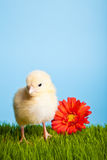 Pollos de Pascua con las flores en hierba verde Imagenes de archivo