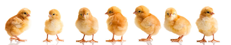 Pollos de Pascua en la hierba verde aislada Fotografía de archivo libre de regalías