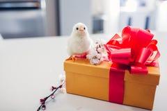 Pollos de Pascua Poco situaci?n del polluelo en la caja de regalo de Pascua Presente para el d?a de fiesta de la primavera imagen de archivo