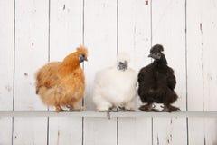 Pollos de Silkies en gallinero Imágenes de archivo libres de regalías