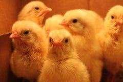 Pollos del bebé fotos de archivo libres de regalías