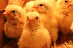 Pollos del bebé fotografía de archivo