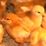 Pollos del bebé Fotos de archivo