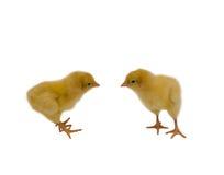 Pollos del bebé Foto de archivo libre de regalías