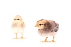 Pollos del bebé aislados en blanco Imagen de archivo