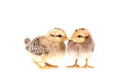 Pollos del bebé aislados en blanco Imagenes de archivo