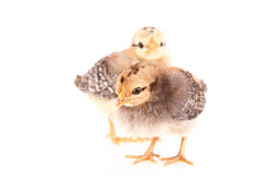 Pollos del bebé aislados en blanco Fotos de archivo