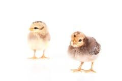 Pollos del bebé aislados en blanco Fotografía de archivo