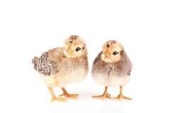 Pollos del bebé aislados en blanco Fotografía de archivo libre de regalías