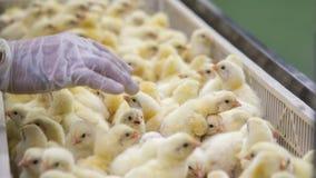 Pollos del bebé apenas llevados en la bandeja fotos de archivo libres de regalías